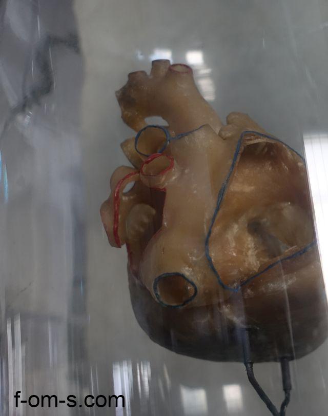 Anatomische Sammlung: Herz