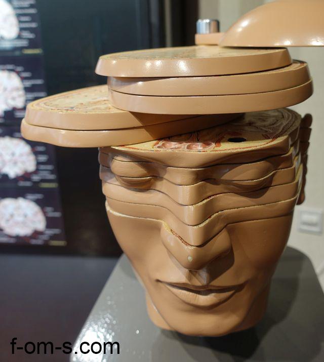 Anatomische Sammlung: Kopf